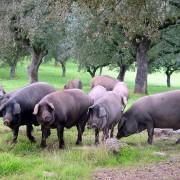 La conquista de mercado del jamón ibérico